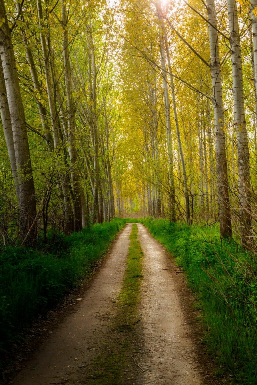 route forestière, sentier de la forêt, arbres, peuplier, point de vue, feuille, automne, paysage, Itinéraire, Saule
