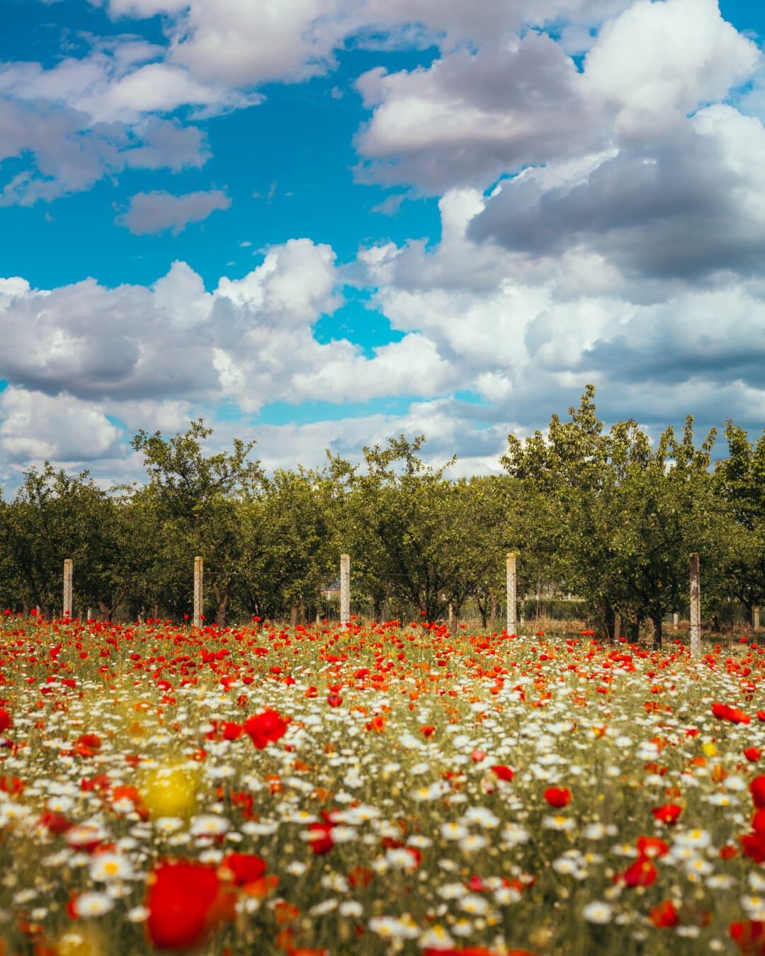 Agriculture, verger, arbres, domaine, coquelicot, fleurs sauvages, camomille, paysage, rural, fleur