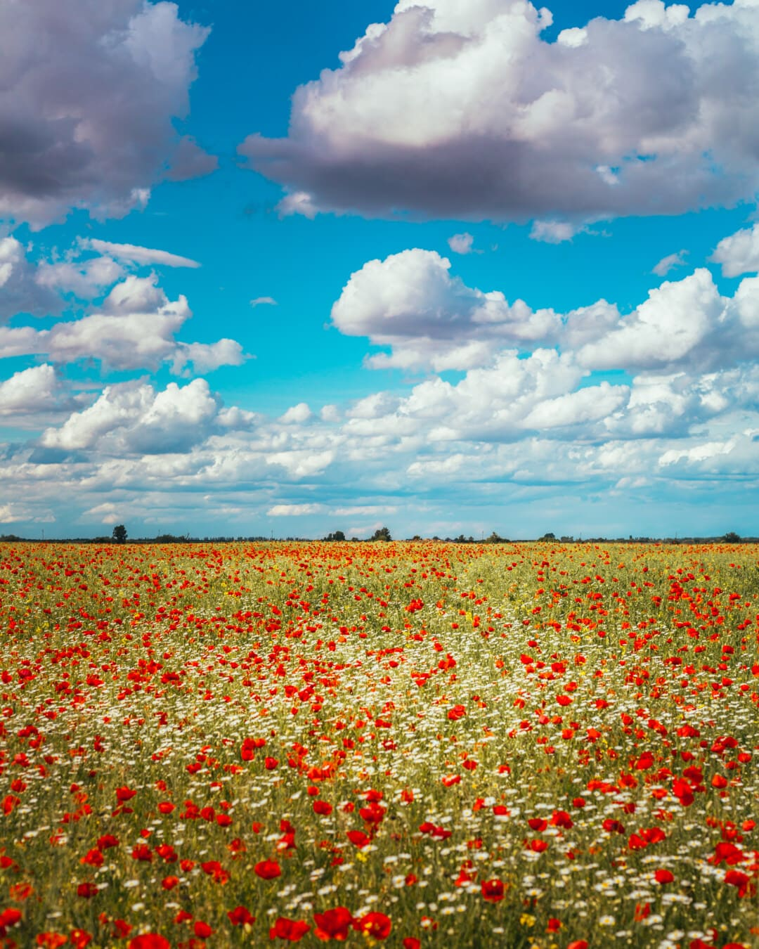 summer season, idyllic, wildflower, poppy, opium poppy, chamomile, flower, field, landscape, rural