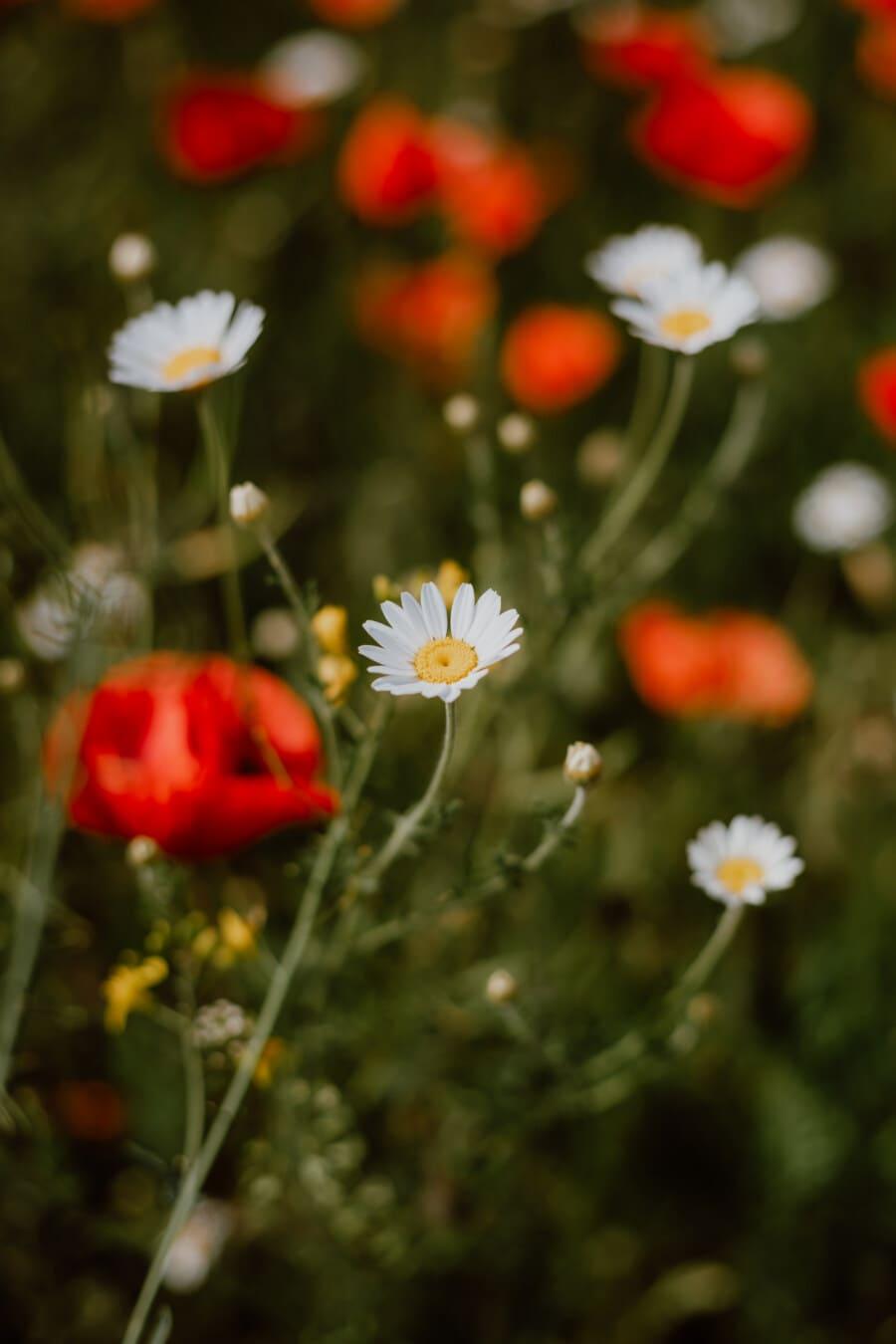 カモミール, ぼかし, ケシ, 間近, 日当たりの良い, 日, 自然, 春, 夏, 工場