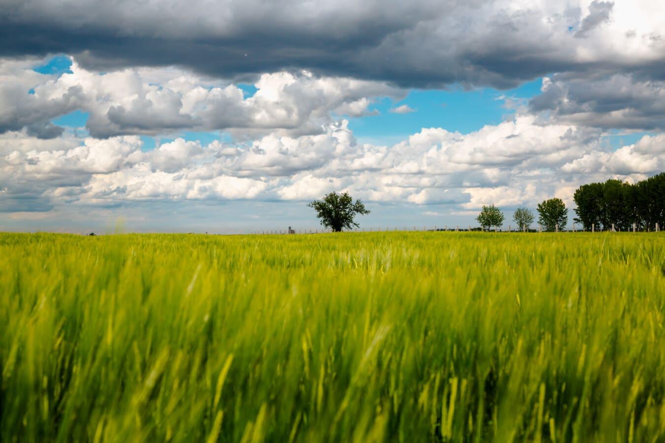 bewölkt, Feld, Weizenfeld, landwirtschaftlich, des ländlichen Raums, Wiese, Weizen, Gras, Landwirtschaft, Landschaft
