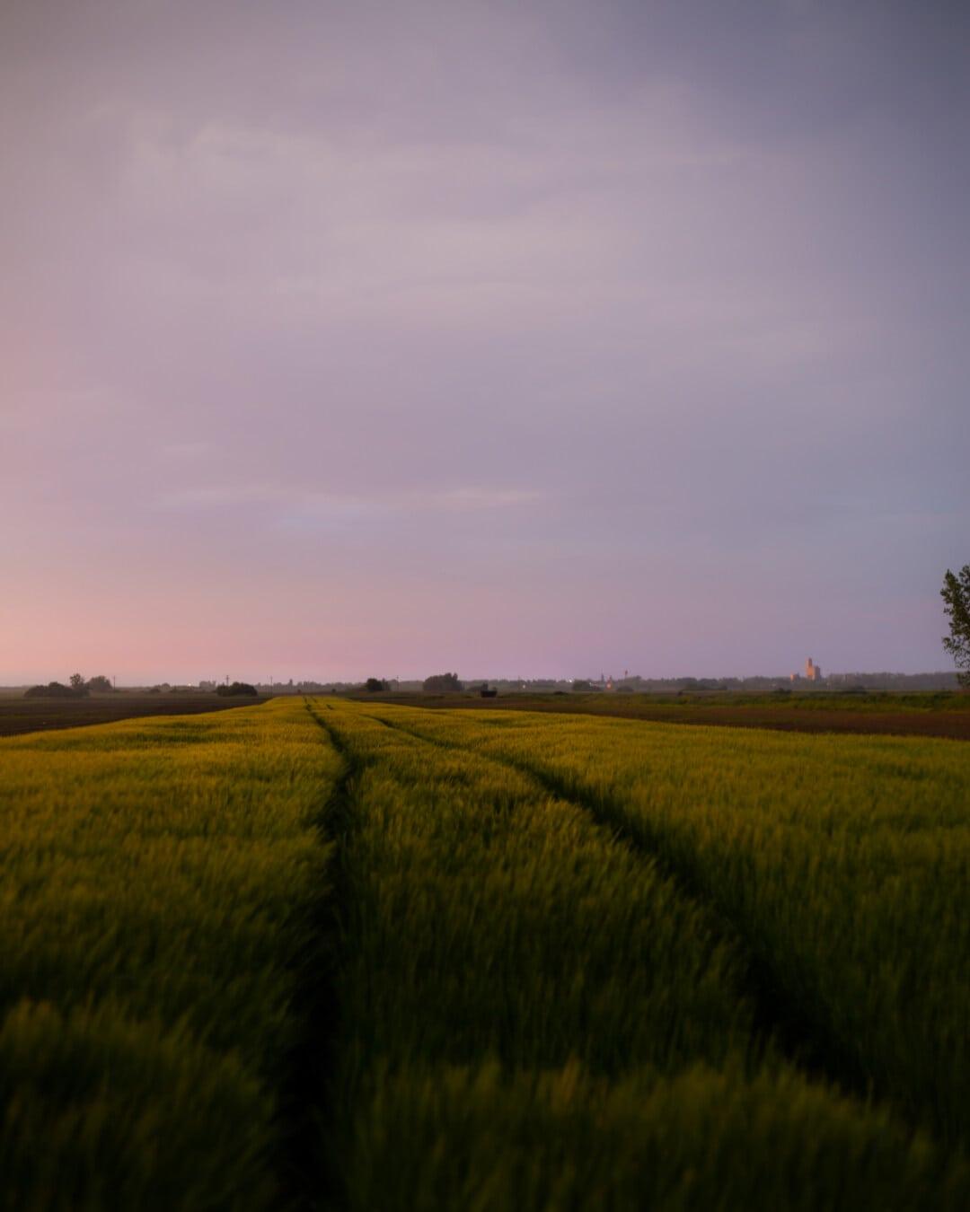 soirée, aube, champ de blé, blé, coucher de soleil, paysage, domaine, herbe, prairie, campagne