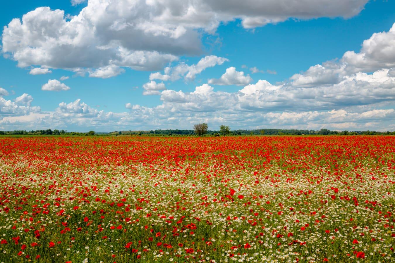 Mohn, Feld, Kamille, Ackerland, landwirtschaftlich, Blume, Landschaft, Natur, Wiese, Gras