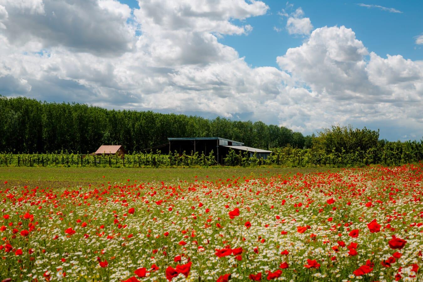 Ackerland, Bauernhof, Bauernhaus, Obstgarten, Kamille, Wildblumen, Blumen, Mohn, Frühling, Feld