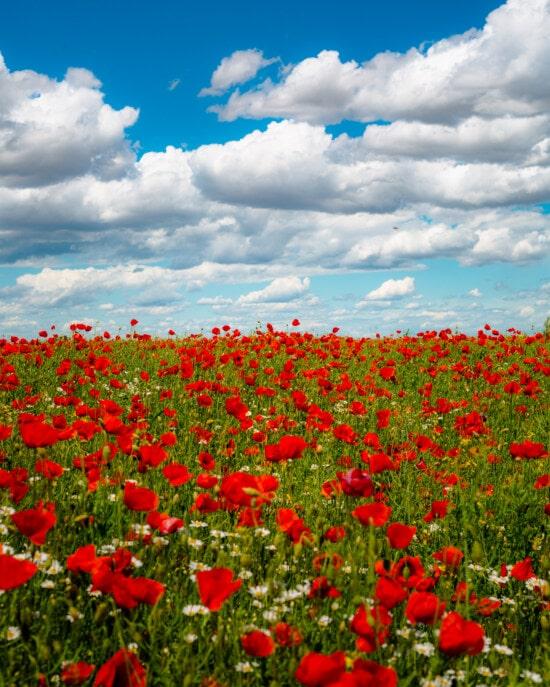 vill blomst, valmueblomst, opiumsvalmuen, eng, blomster, sommer, landlig, blomst, blomst, vår