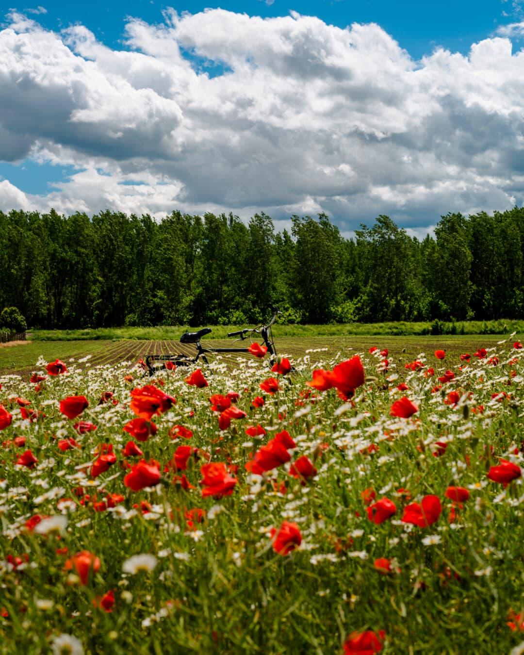 Mohn, Blumen, Fahrrad, Landwirtschaft, Feld, Sommer, Blume, Anlage, Natur, Wiese