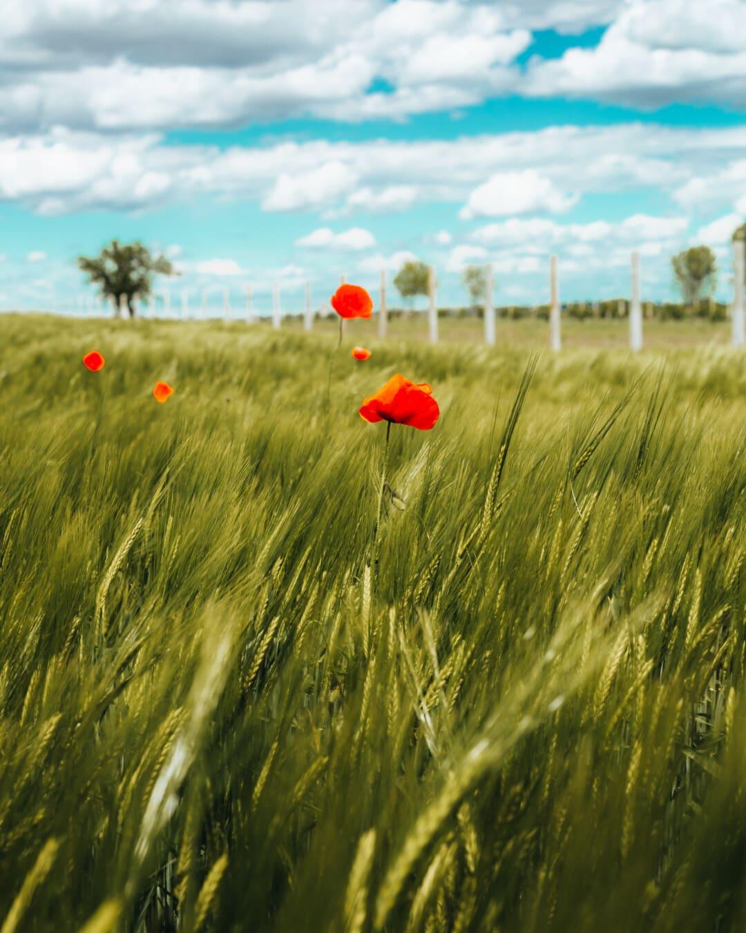 champ de blé, coquelicot, fleurs sauvages, journée, ensoleillée, domaine, soleil, blé, céréale, rural