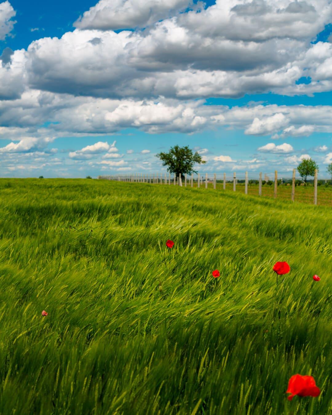 Wind, Ackerland, Weizenfeld, Feld, des ländlichen Raums, Sommer, Rasen, Wolke, Landschaft, Wiese