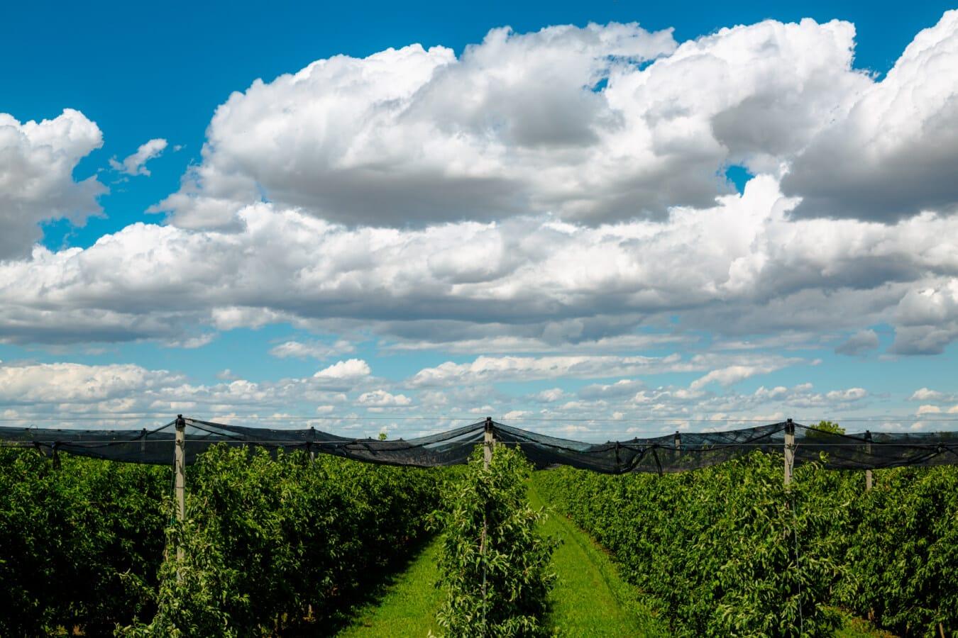 苹果, 果园, 保护, 网络, 生产, 农业, 性质, 景观, 谷仓, 夏天