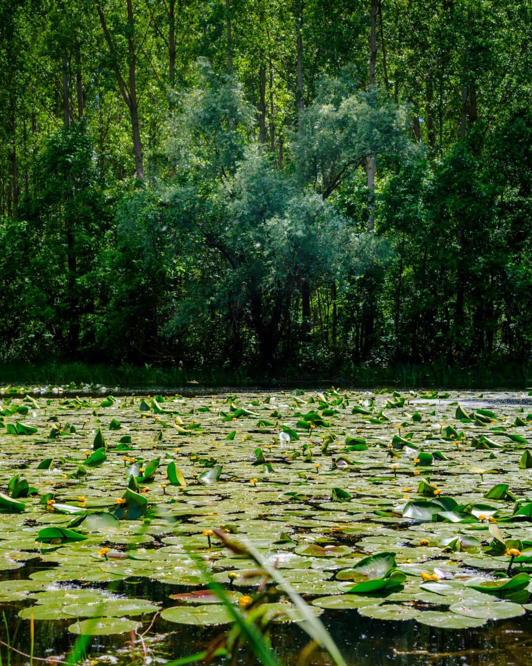 planta acuática, ecosistema de, acuática, lirio de agua, bañados, paisaje, parque, árbol, planta, madera