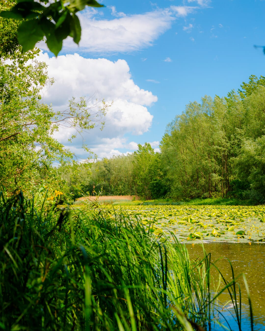 Wasserpflanze, Sumpf, Marschland, aquatische, Natur, idyllisch, majestätisch, Ökosystem, Feld, Korn