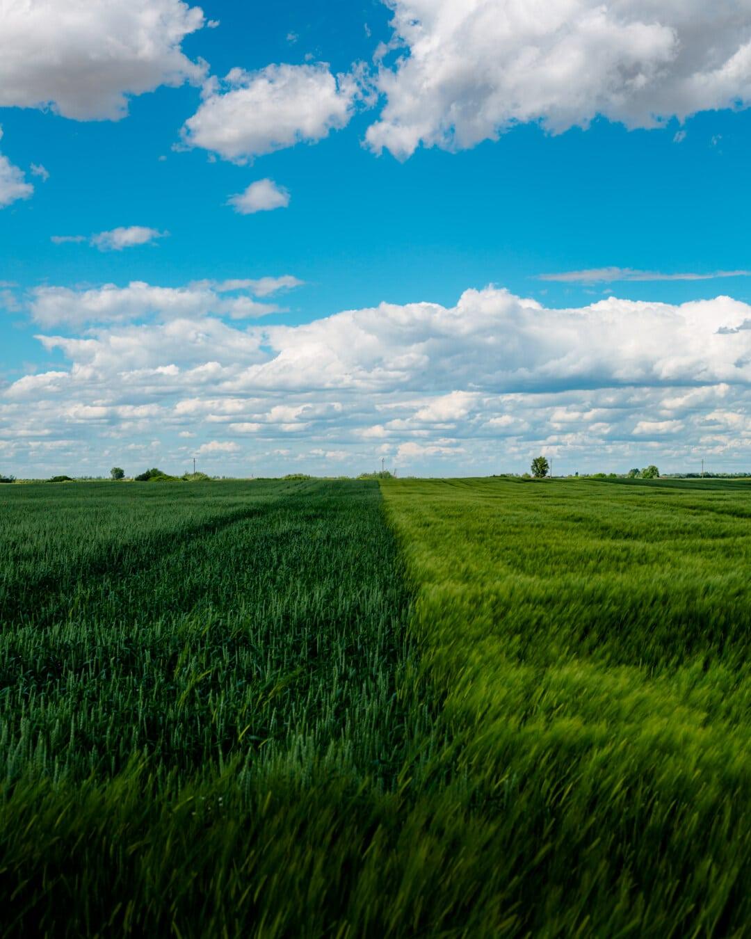 champ de blé, paysage, ferme, prairie, herbe, Agriculture, nuage, rural, domaine, campagne