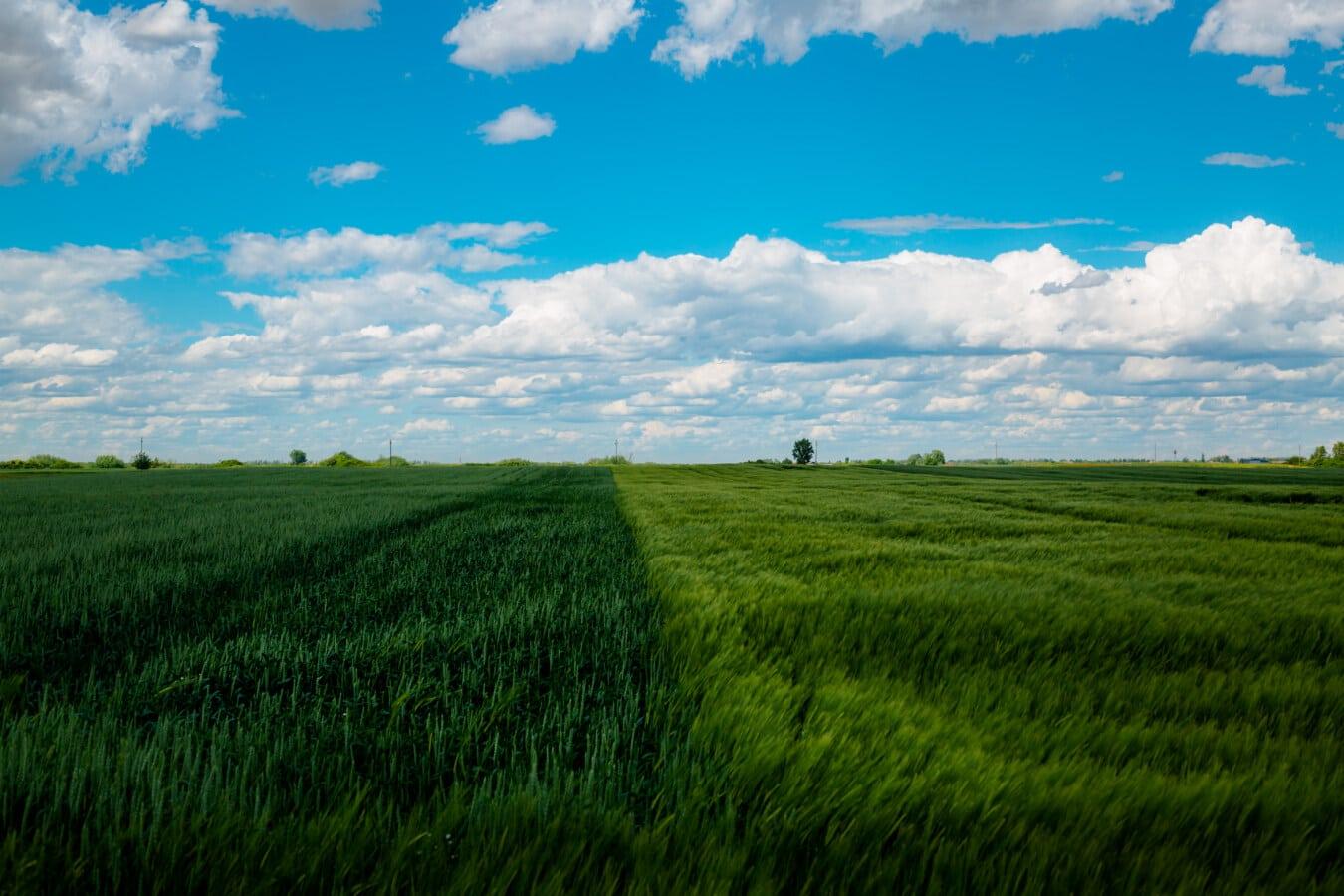 champ de blé, seigle, vert, domaine, céréale, Agriculture, nuage, prairie, blé, paysage