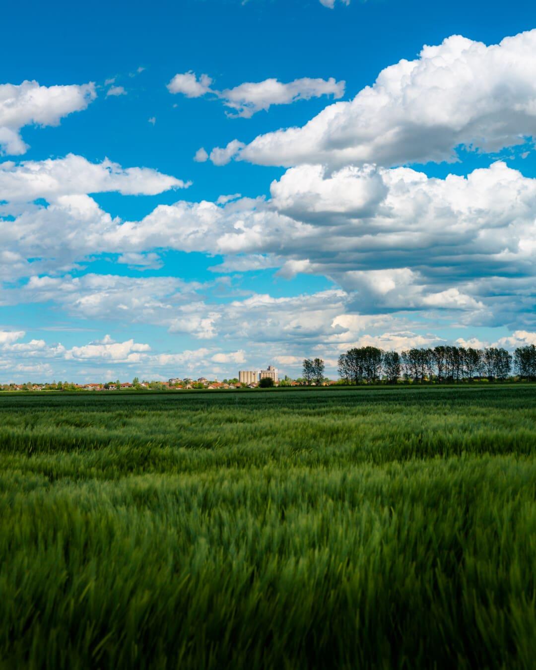 agriculture, daylight, fair weather, wheatfield, idyllic, farm, summer, landscape, cloud, grass