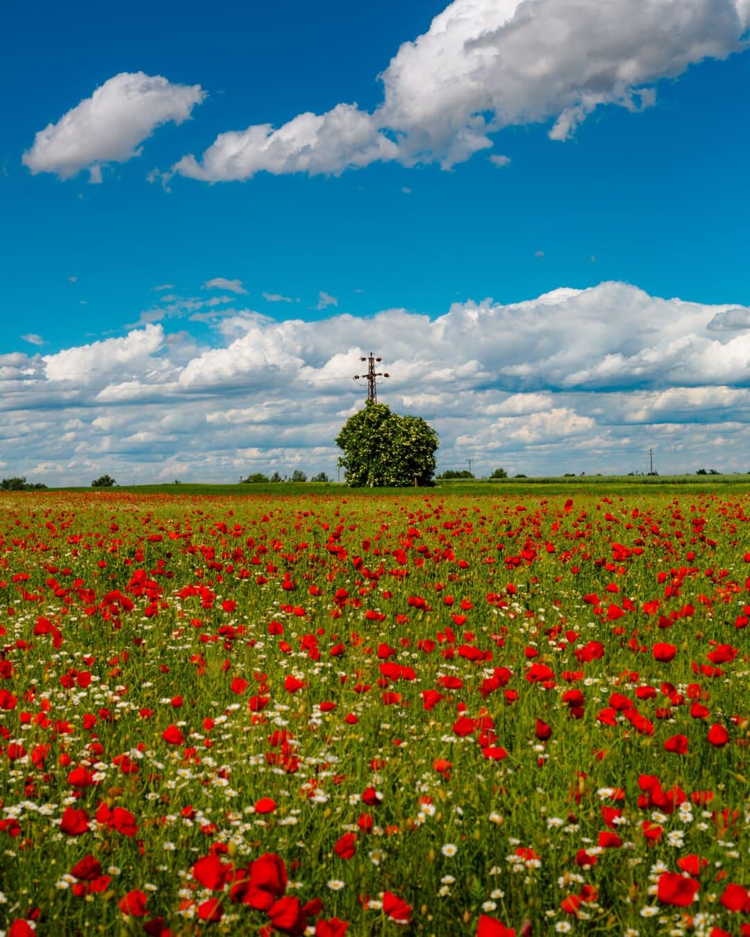 Мак, опійний Мак, дика квітка, квіти, величний, квітка, весна, краєвид, луговий, поле