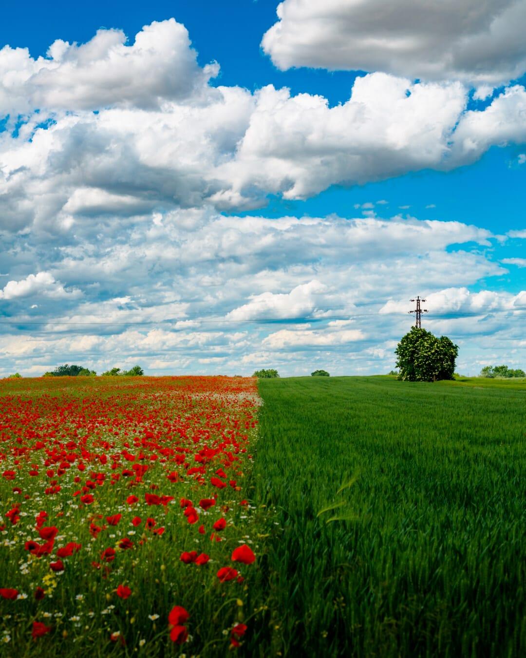 domaine, printemps, seigle, Agriculture, camomille, fleurs sauvages, fleurs, coquelicot, été, rural
