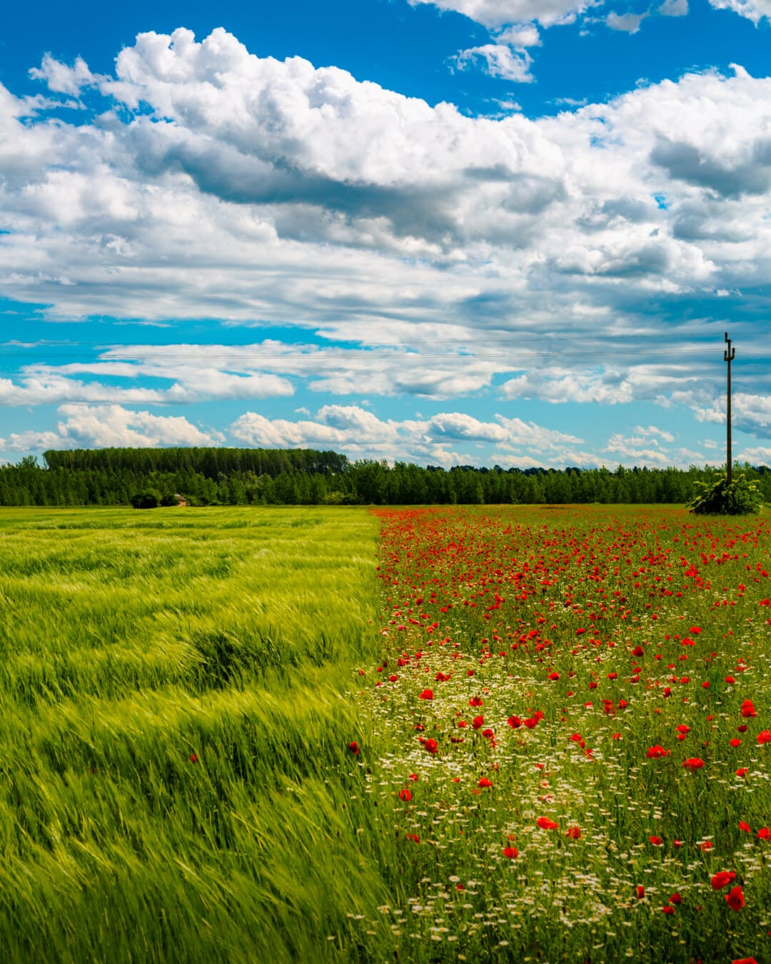 field, agriculture, perspective, wheatfield, flowers, poppy, landscape, nature, cloud, meadow