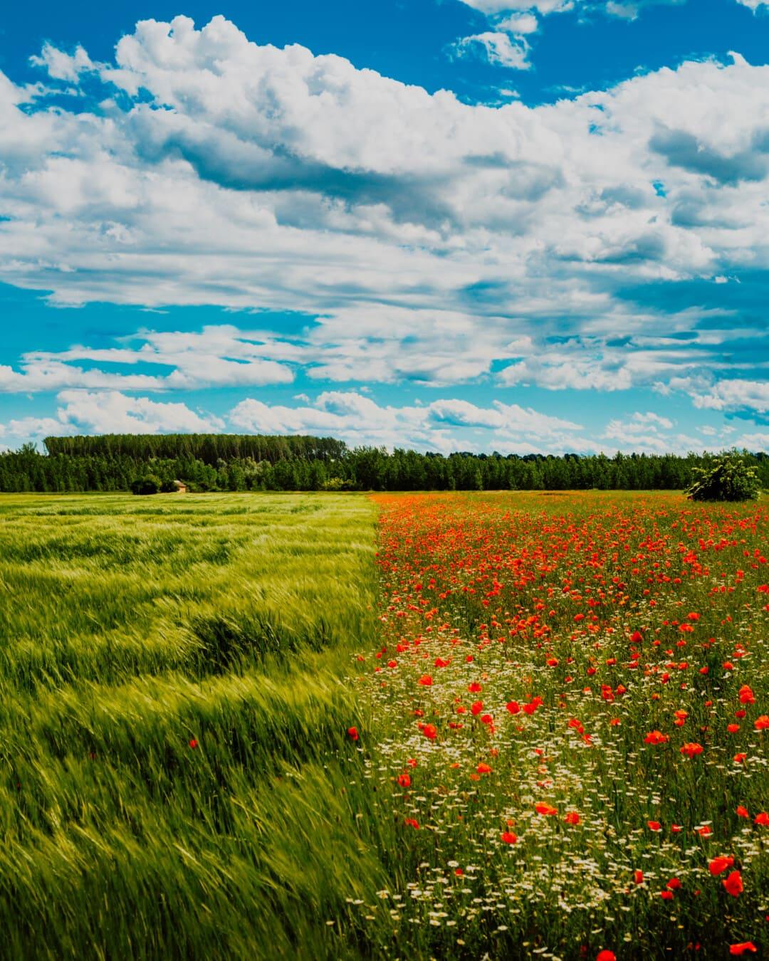 champ de blé, idyllique, fleurs sauvages, coquelicot, camomille, nature, rural, prairie, domaine, printemps