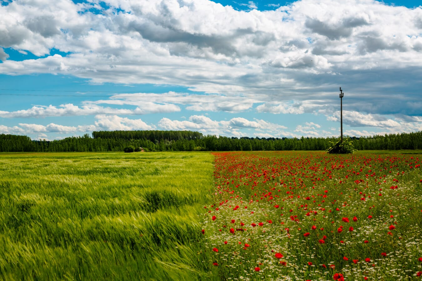 wheatfield, poppy, flowers, fair weather, agriculture, rural, meadow, summer, cloud, landscape
