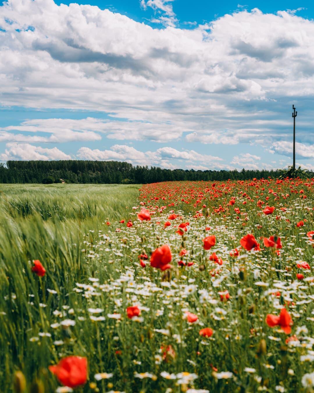 champ de blé, coquelicot, lumière du jour, herbe, rural, prairie, nature, printemps, fleur, été