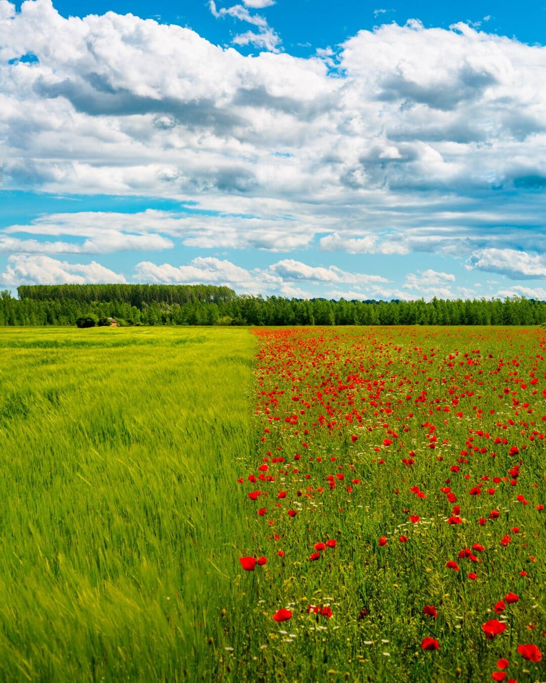 Weizenfeld, Feld, Landwirtschaft, Mohn, Blumen, Anlage, Natur, Landschaft, des ländlichen Raums, Gras