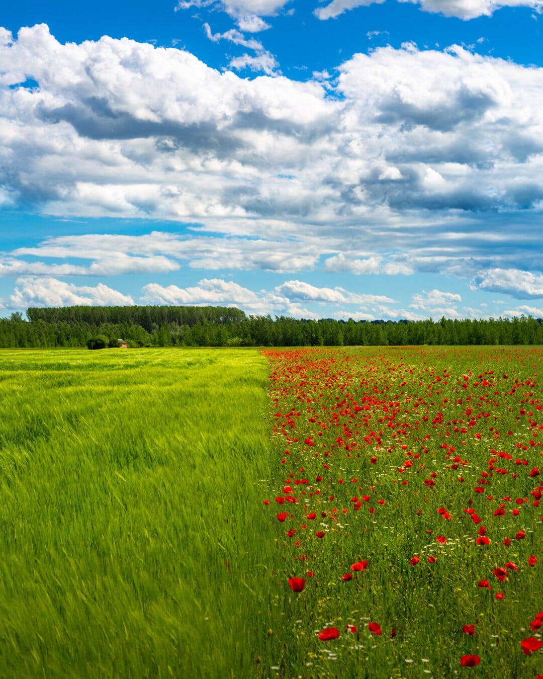 wheatfield, poppy, flowers, summer season, perspective, landscape, spring, grass, rural, field
