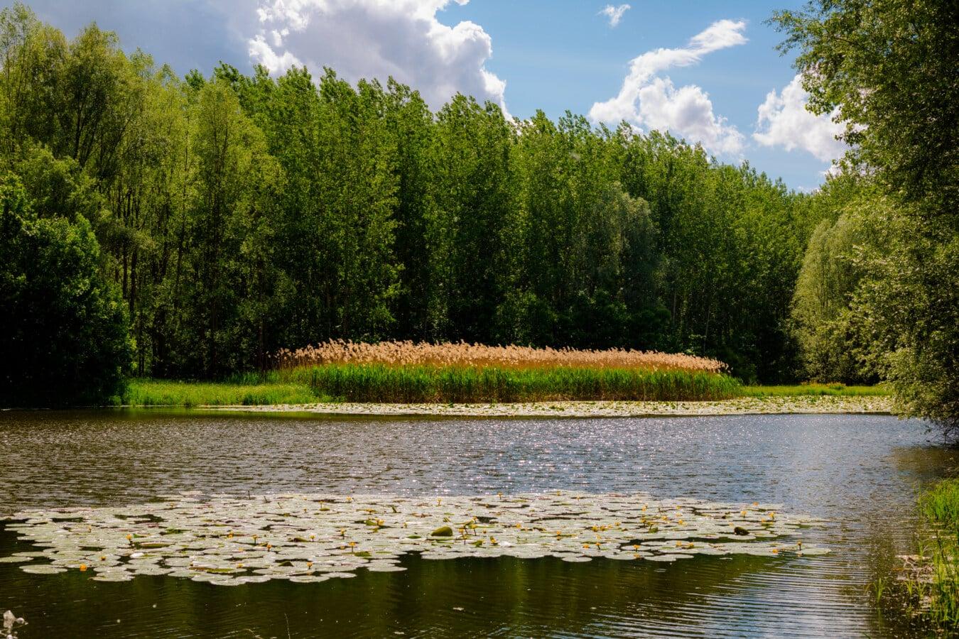 plante aquatique, écosystème, aquatique, Lotus, atmosphère, idyllique, réflexion, eau, arbre, Lac