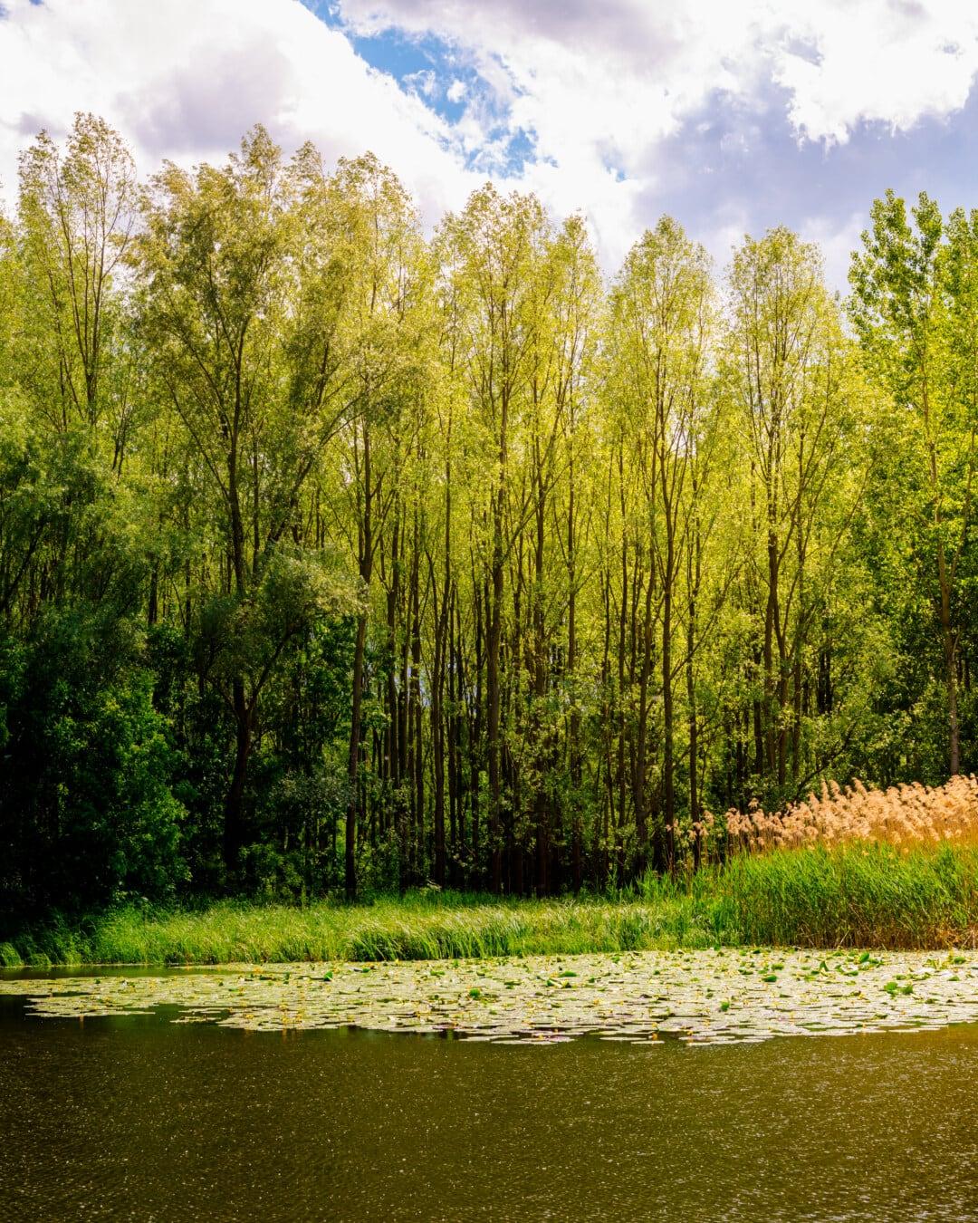 calm, atmosphere, ecosystem, marshlands, aquatic, aquatic plant, leaf, tree, landscape, birch