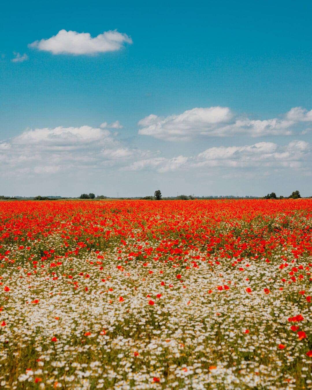 Feld, Landschaft, des ländlichen Raums, Mohn, Blume, Natur, Sommer, Landschaft, Flora, Landwirtschaft