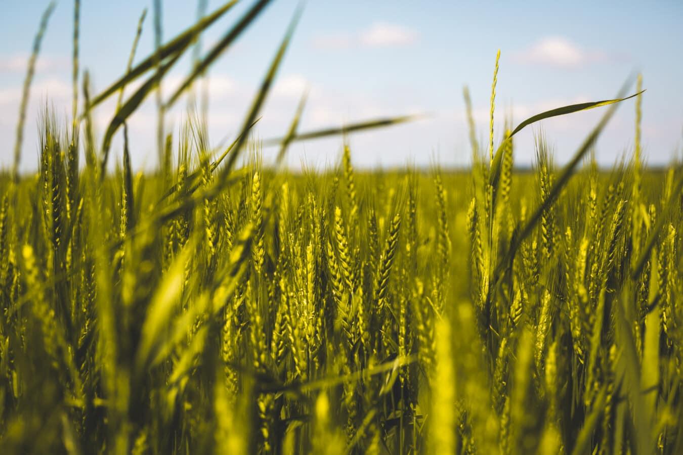 agricole, Wheatfield, câmp, până aproape, paie, frunze, galben verzui, ferma, cereale, vara