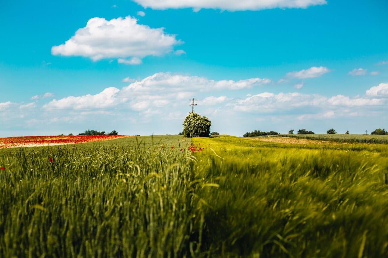 champ de blé, les terres agricoles, seigle, coquelicot, rural, Agriculture, herbe, domaine, prairie, blé