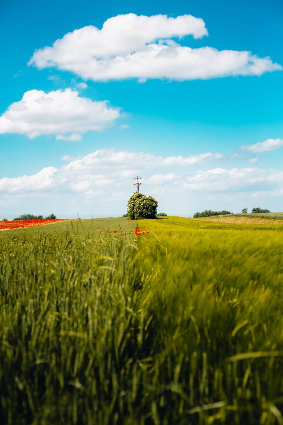 wheatfield, day, sunny, field, rural, cereal, cloud, grass, farm, meadow