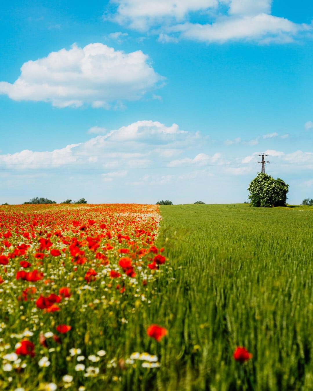 agricultural, wheatfield, field, opium poppy, poppy, flowers, chamomile, grass, meadow, landscape