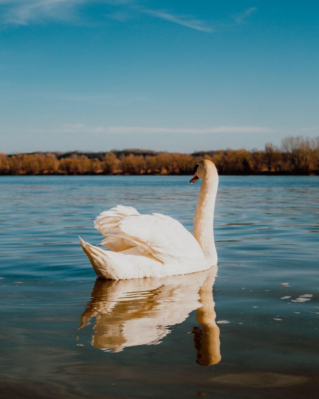 nuoto, Cigno, uccello, da vicino, Luce del sole, soleggiato, luminosa, acqua, Lago, natura
