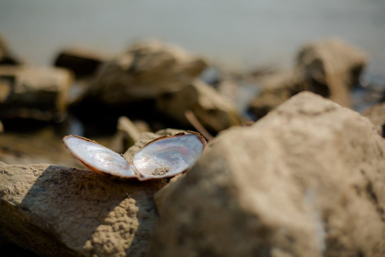 shell, mollusk, mussel, big rocks, beach, nature, sand, blur, rock, outdoors
