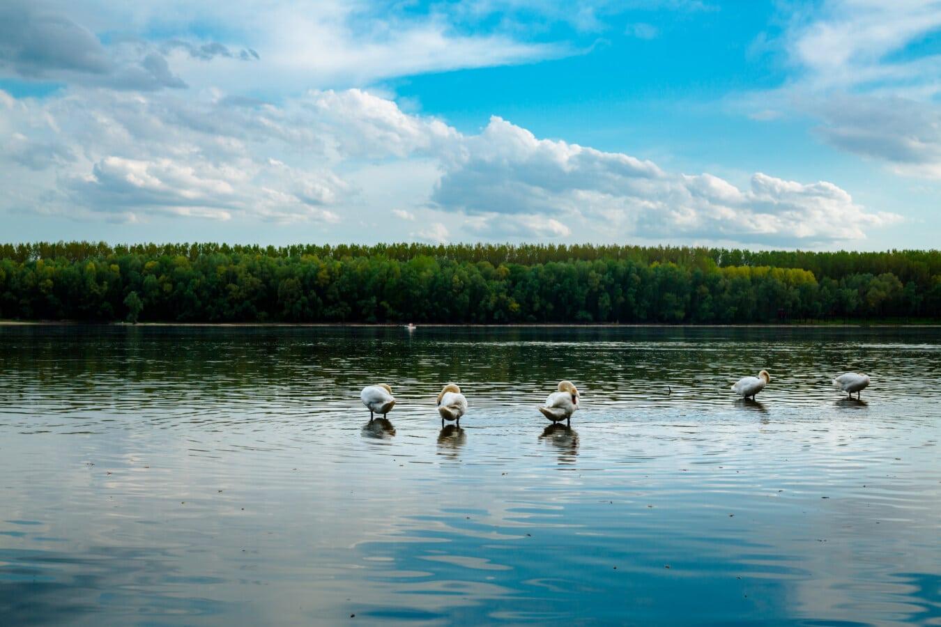 labuť, řeka, ráno, stádo, divoká zvěř, příroda, pták, voda, jezera, pobřeží