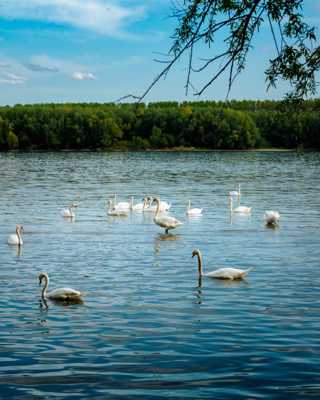 Schwan, Danube, Fluss, Herde, natürlichen Lebensraum, Wasservögel, Vogel, aquatische Vogel, See, Wasser
