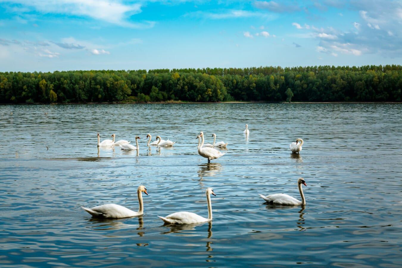troupeau, oiseaux, cygne, piscine, Danube, rivière, oiseau, eau, oiseaux aquatique, réflexion
