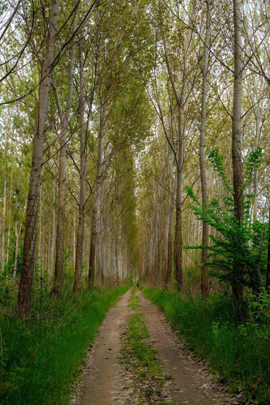 Skogsvei, skogen banen, Alley, poppel, skog, trær, parkere, skogen, treet, blad