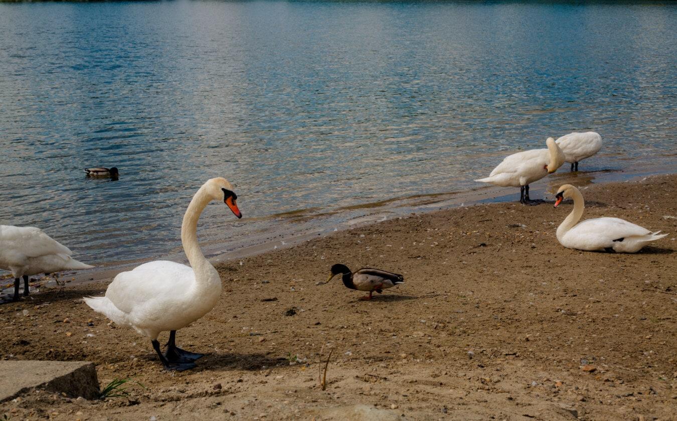 swan, duck, birds, summer season, lakeside, beach, wildlife, water, bird, aquatic bird