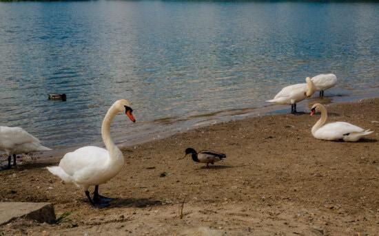 joutsen, ankka, Linnut, kesäkaudella, järven puolella, ranta, villieläimet, vesi, lintu, eläintiede