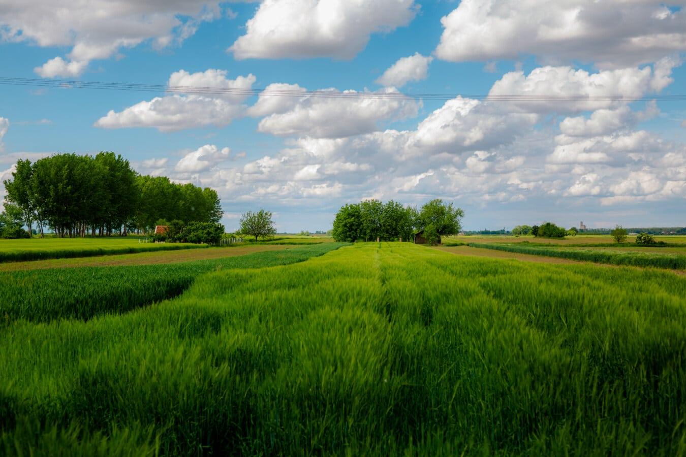 feltet, landbruket, Wheatfield, grønt gress, atmosfære, idyllisk, landbruk, gresset, landskapet, hvete