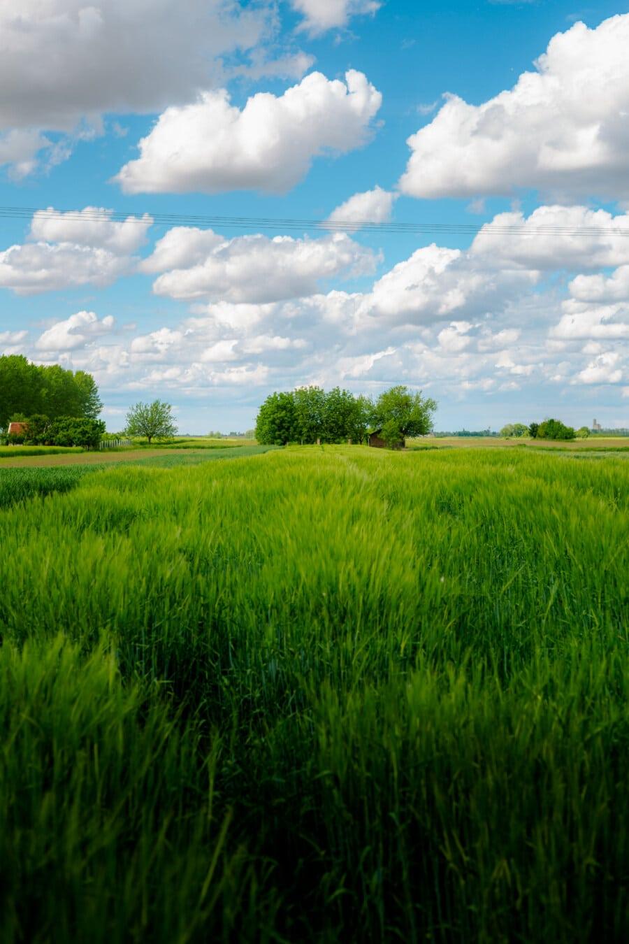 잔디, wheatfield, 농지, 농가, 농업, 농업, 풍경, 곡물, 잔디, 필드