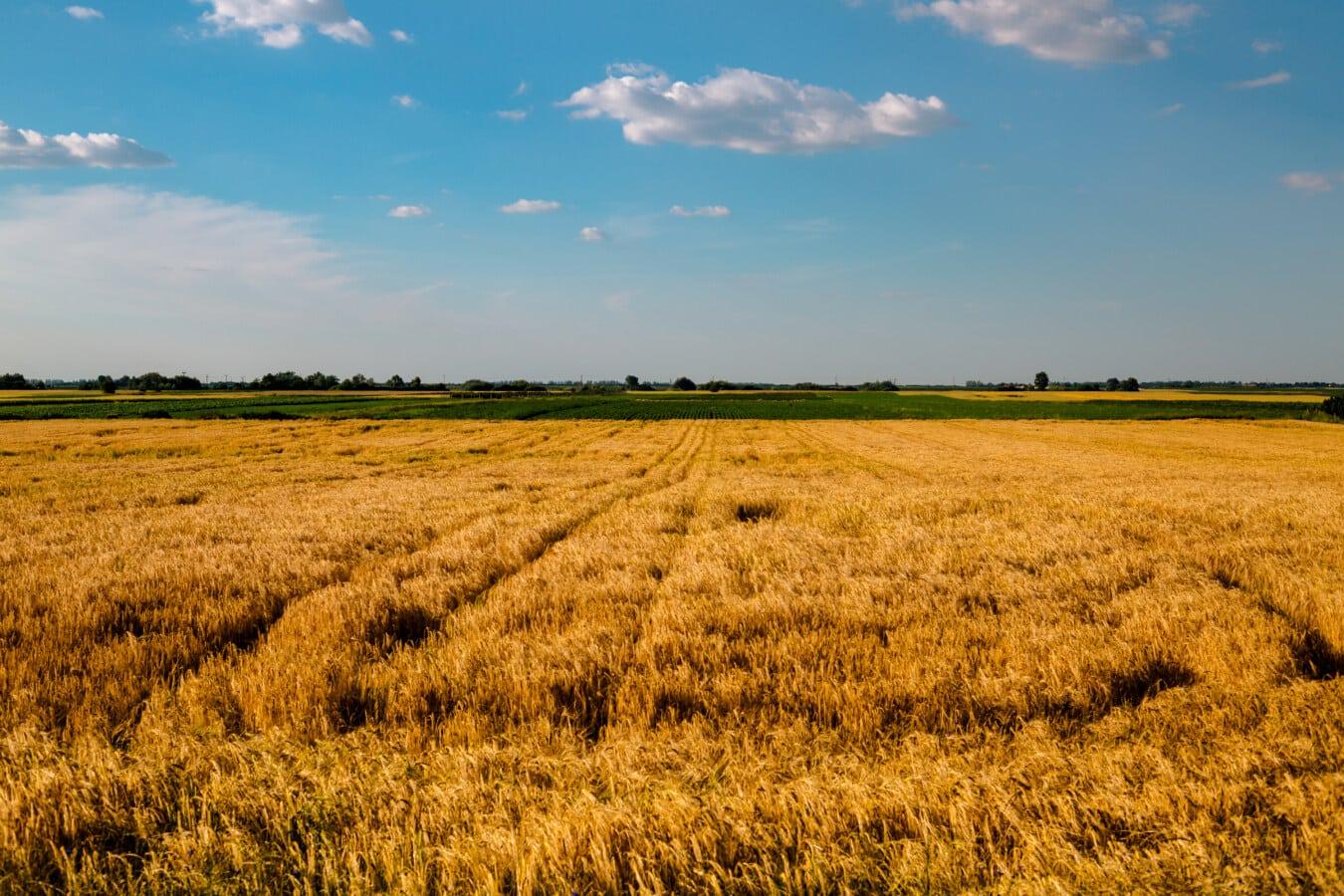 câmp, Sezonul de vară, orz, agricultura, peisaj, zona rurală, cereale, ferma, rurale, terenurilor agricole