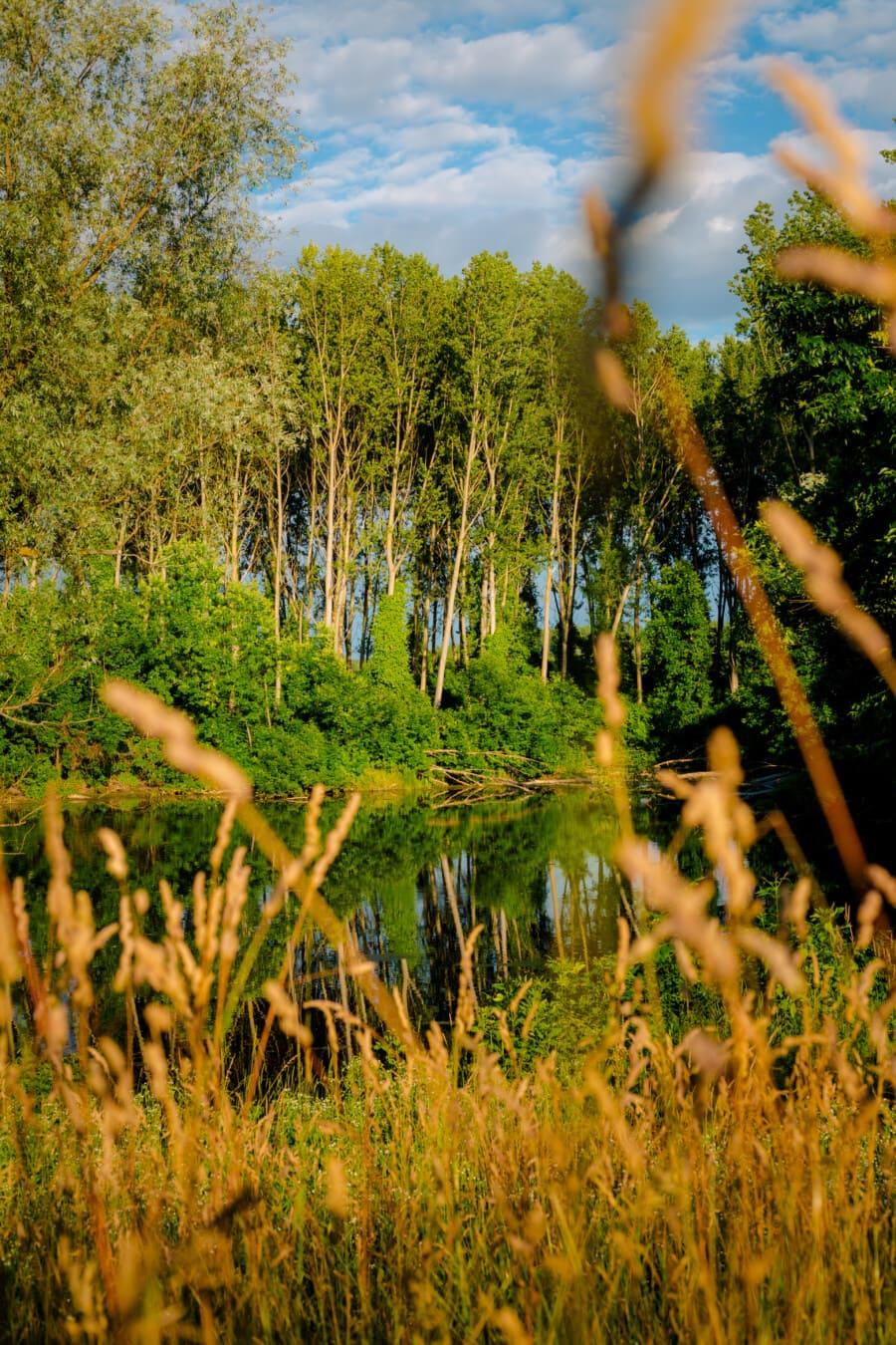 sommersesongen, myr, gress, økosystem, skog, landskapet, treet, anlegget, natur, tre