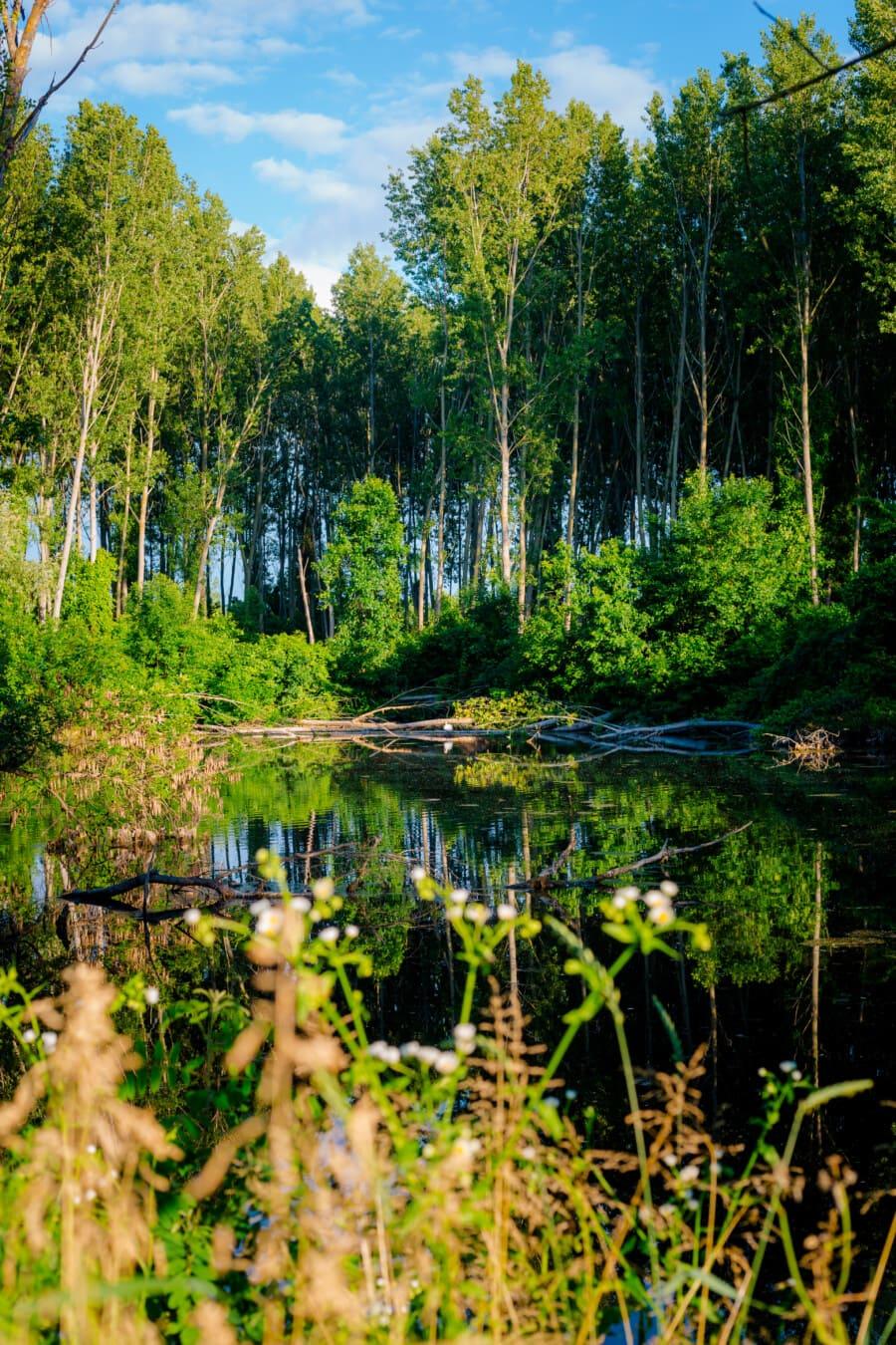 skog, myr, landskapet, treet, land, våtmarksområde, natur, tre, utendørs, blad
