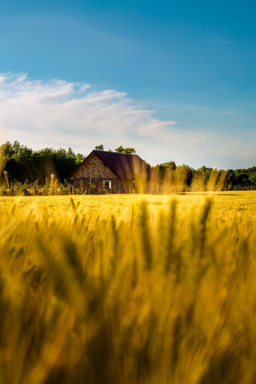 đất nông nghiệp, Trang trại, ánh sáng vàng, Wheatfield, mùa hè, vùng nông thôn, lúa mì, lĩnh vực, nông thôn, Barn