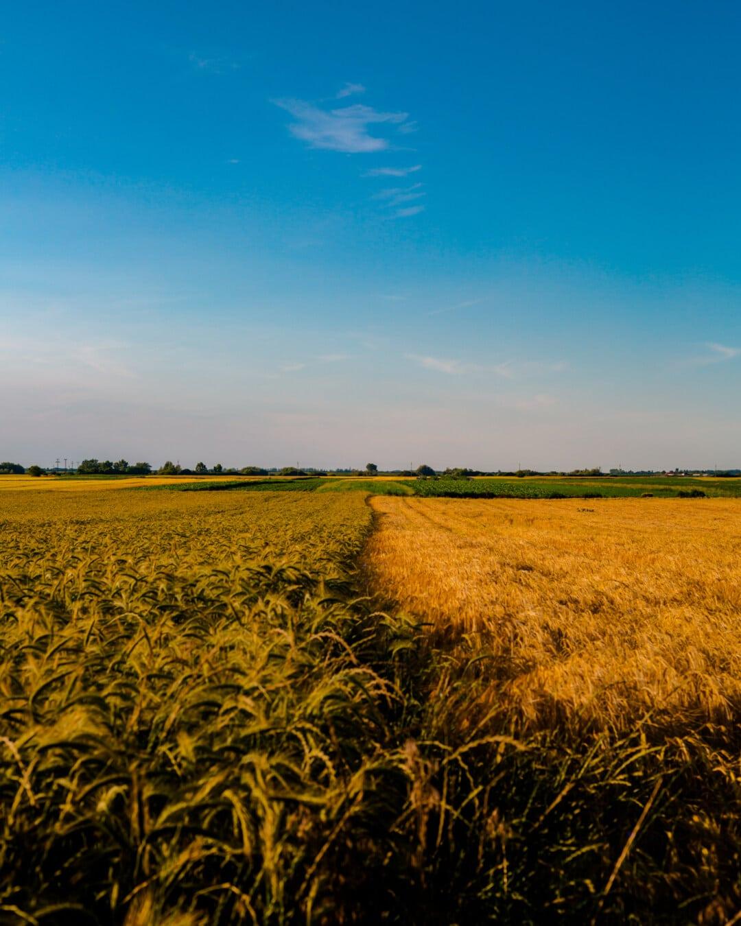 champ de blé, orge, lueur dorée, Agriculture, céréale, domaine, rural, prairie, ferme, blé