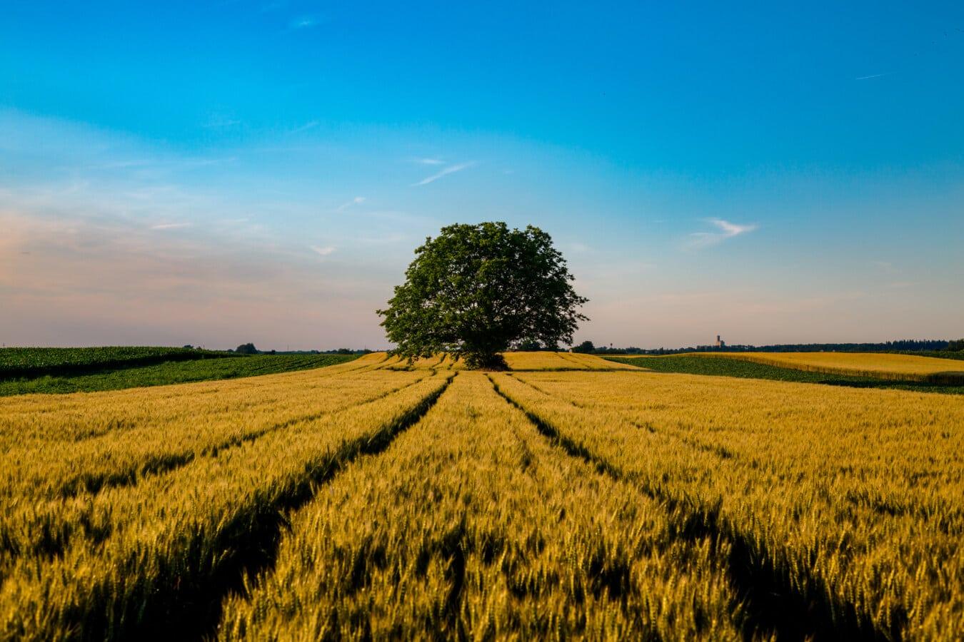 veličanstven, krajolik, ljetna sezona, poljoprivreda, poljoprivredno zemljište, wheatfield, žitarica, ruralni, polje, pšenica