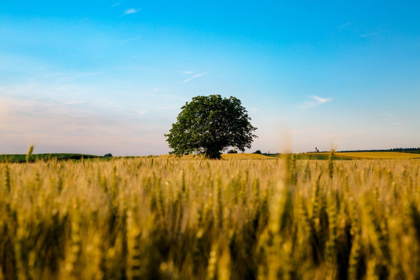 letní sezona, pšeničné pole, strom, zemědělská půda, zemědělství, krajina, pole, tráva, venkova, obilnina